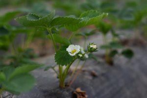 Konieczność odpowiedniej uprawy truskawek