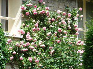 Zakup róż pnących do ogrodu