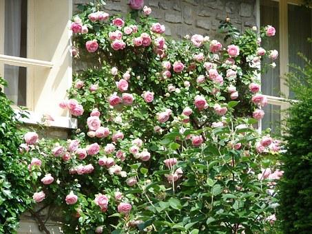 cięcie róż pnących na działce