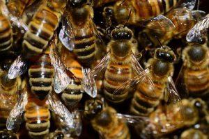Skuteczne odymianie chorych pszczół